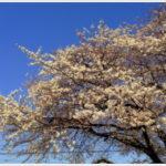 今ココに居る桜前線に告ぐ。