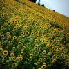 【富岡市】丹生湖のひまわり畑。 -2015
