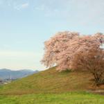 白石稲荷山古墳 満開の桜。 -2016