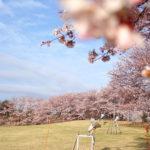 ふじの咲く丘 8分咲きの桜。 -2016