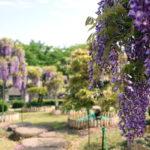 ふじの咲く丘で藤のお花見を。 -2016