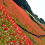 高原彩る真っ赤な絨毯。 -天空を彩るポピー2016