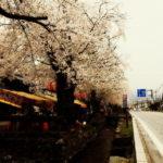 小幡の桜を眺めつつ。