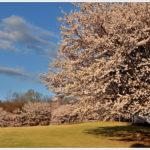ふじの咲く丘で満開の桜を。 -2014