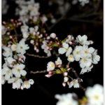 暗闇の中臨む桜は美しく。