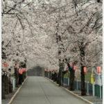 貫前神社へと続く桜並木。