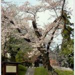 ふじの咲く丘で満開の桜を。 -2013