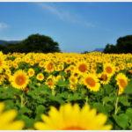【富岡市】丹生湖のひまわり畑。 -2014
