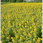 【富岡市】丹生湖のひまわり畑。 -2013