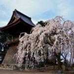 ようやくの春、気になる桜。