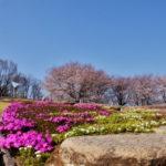 ふじの咲く丘で満開の桜を。 -2015