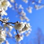長い冬に終わりを告げる淡く優しい春の色。