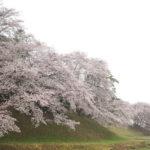 七輿山古墳 満開の桜。 -2017