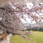 ふじの咲く丘 満開の桜。 -2017