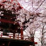 上野國一社八幡宮 満開の桜。 -2017