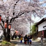 城下町小幡 満開の桜並木。 -2017