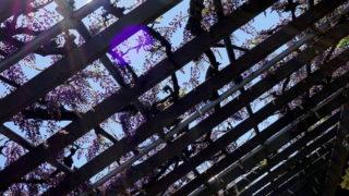 ふじの咲く丘 藤の花の開花状況。 -2017