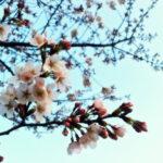 綻ぶ蕾、ようやくの桜前線。 -おらが街の桜スポット