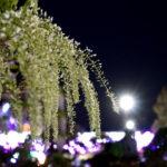 ふじの咲く丘 藤の花のライトアップ。 -2017