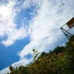 下磯部に咲くひまわりの花。 -尾崎村のひまわり 2017