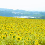 早咲きのひまわりの花が咲き誇り。 -丹生湖のひまわり畑 2017