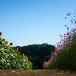 コスモス畑、すぐお隣りにはひまわり畑。 -秋の鼻高展望花の丘 2017