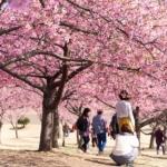 満開の河津桜に春来たり。 -いせさき市民のもり公園 2018