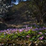 可憐に春彩るカタクリの花。 -小串カタクリの里 2018