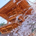 満開のしだれ桜のお花見に。 -滝の慈眼寺 2018