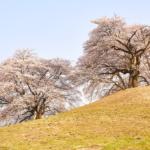 古墳の上の大桜に春の風情を。 -白石稲荷山古墳 2018