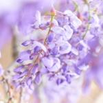 新緑と共に美しく咲き枝垂れ。 -ふじの咲く丘 2018