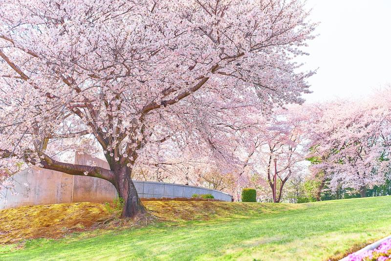 藤岡市の桜スポット