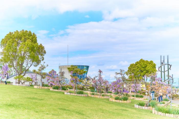 ふじの咲く丘・満開の藤の花 -群馬県藤岡市