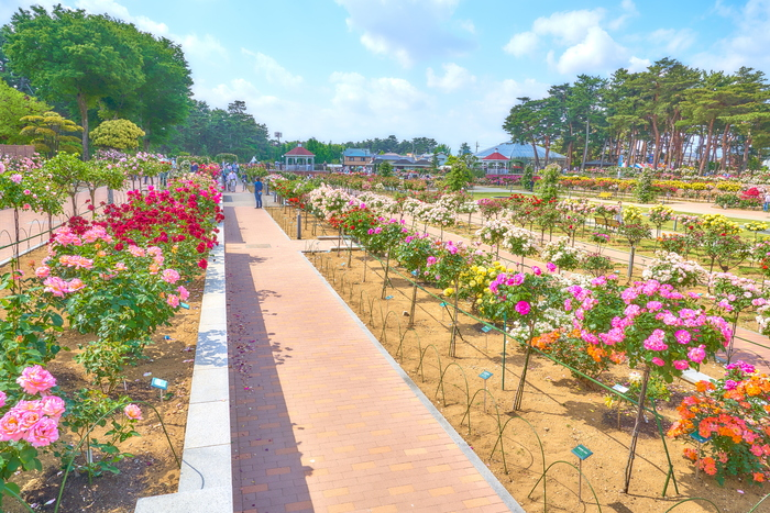 敷島公園ばら園 2019・春 -群馬県前橋市