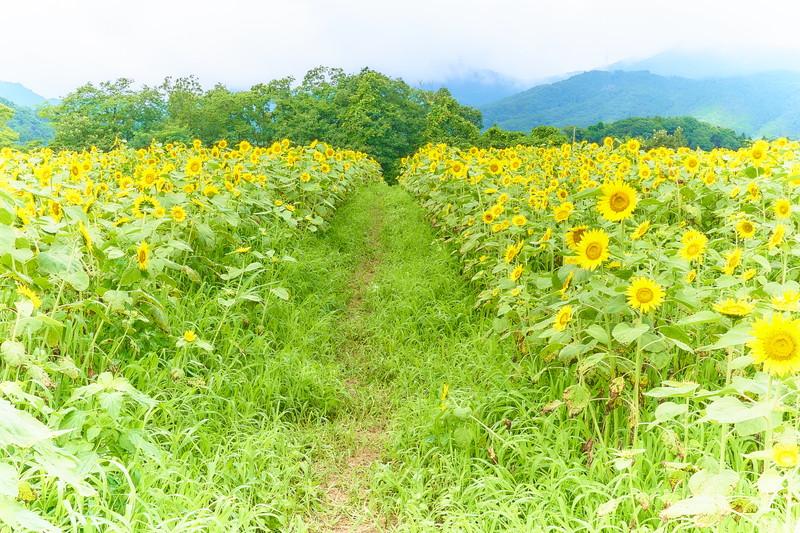 丹生湖 ひまわり畑2019 -群馬県富岡市