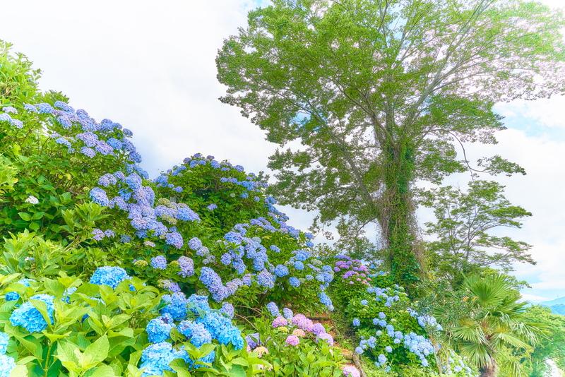 下仁田あじさい園 -群馬県甘楽郡下仁田町