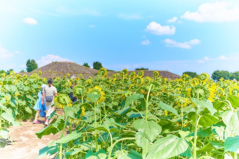 はにわの里 ひまわり迷路 -群馬県高崎市