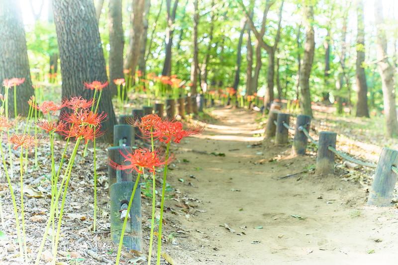 境御嶽山自然の森公園 彼岸花 -群馬県伊勢崎市