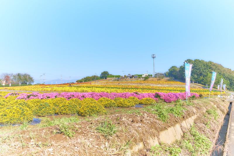 あかぼり小菊の里 -群馬県伊勢崎市