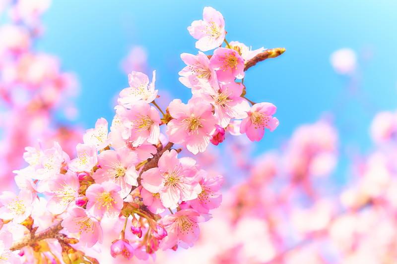 河津桜|いせさき市民のもり公園 -群馬県伊勢崎市