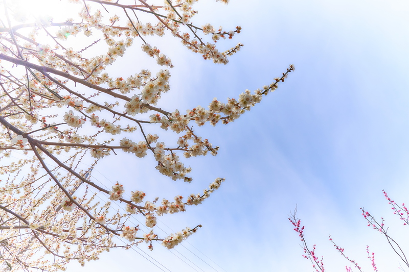 秋間梅林 -群馬県安中市