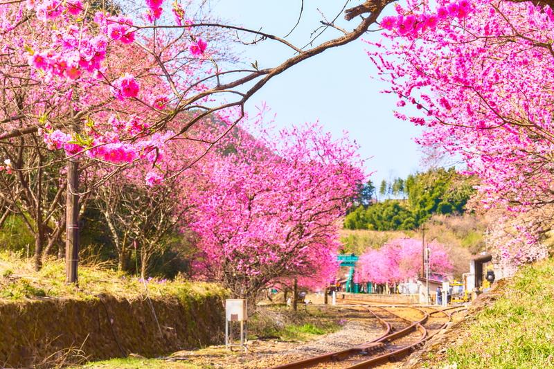 わたらせ渓谷鐡道 神戸駅(花桃) -群馬県みどり市