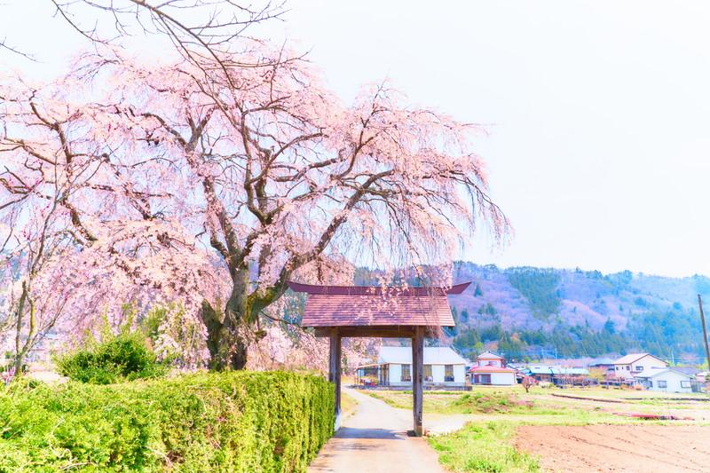 天照寺のしだれ桜 -群馬県沼田市