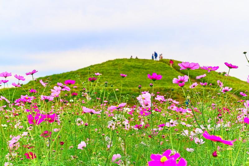 二子山古墳|上毛野はにわの里公園のコスモス畑 -群馬県高崎市