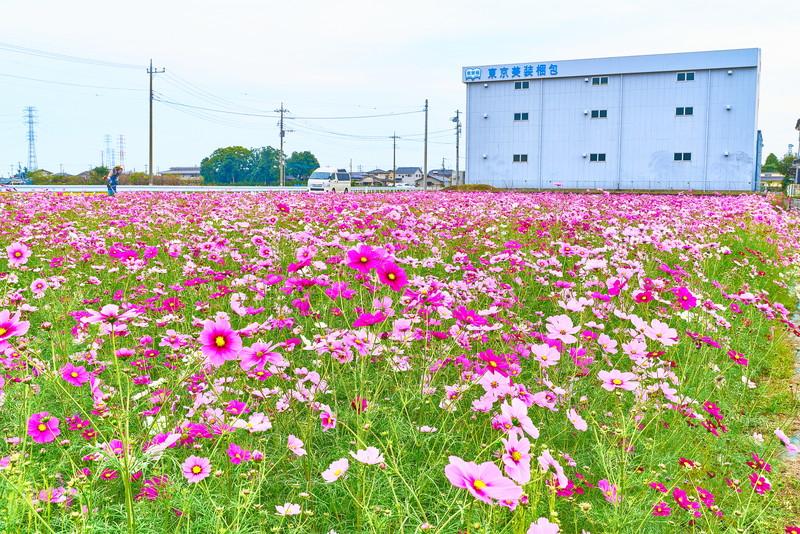 下栗須のコスモス畑 -群馬県藤岡市