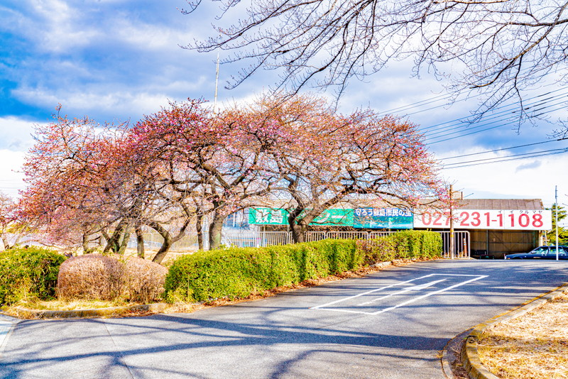 国体道路沿いの河津桜|群馬県前橋市