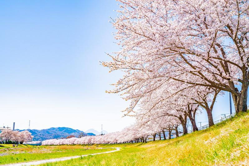 こまだ千本桜|埼玉県本庄市児玉町