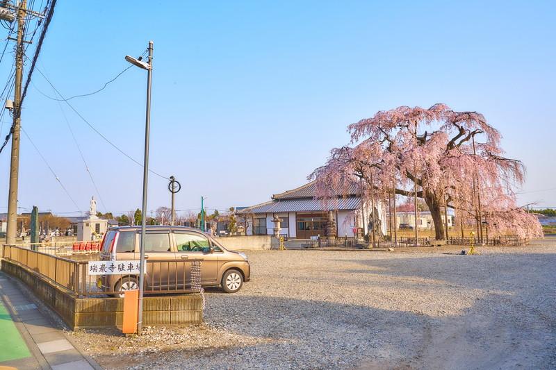 群馬のしだれ桜特集|群馬県全域