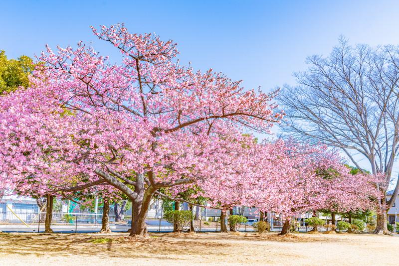 市之坪公園の河津桜|群馬県前橋市