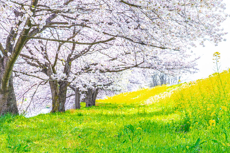 下茂木の桜並木|群馬県佐波郡玉村町